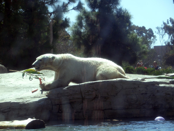 Non-playful polar bear